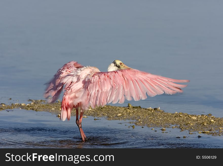 Roseate Spoonbill flapping his wings