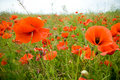 Free Poppies Field Stock Images - 5511614