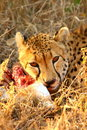 Free Cheetah On A Kill Stock Images - 5513124