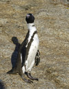 Free Thin Jackass Penguin Royalty Free Stock Images - 5513449
