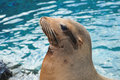 Free Sea Lion Royalty Free Stock Photos - 5514228