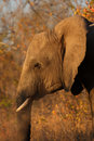 Free Elephant In Sabi Sands Stock Photos - 5514533