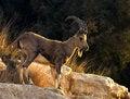 Free Biblic Billy Goat Stock Image - 5514811