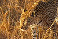 Free Leopard In The Sabi Sands Royalty Free Stock Photography - 5514887