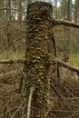 Free Stump At Moss Stock Photo - 5516570