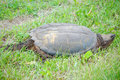 Free Snapping Turtle Stock Image - 5518141