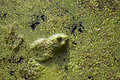 Free Green Frog In A Pond Stock Photos - 5518453