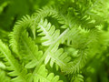 Free Shady Fern Royalty Free Stock Images - 5518509
