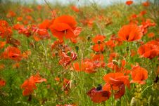 Free Poppies Field Stock Photos - 5511433