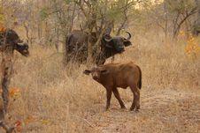 Free Buffalos And Calf Stock Image - 5512191