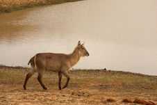 Free Female Waterbuck Stock Photos - 5512193