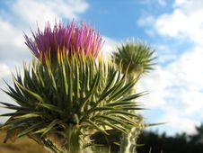 Free Thistles Thorny Wildflower Stock Photos - 5512443