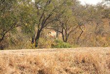 Free Springing Impala Stock Image - 5512461