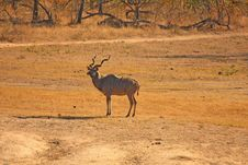 Free Male Kudu Royalty Free Stock Photo - 5512475