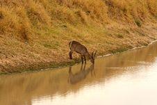 Free Drinking Waterbuck Stock Photo - 5512480