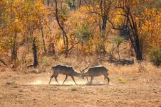 Free Fighting Male Waterbuck Royalty Free Stock Images - 5512499