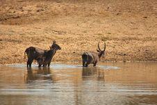 Free Herd Of Waterbuck Stock Images - 5512554