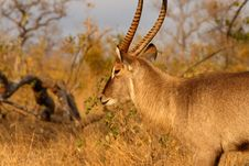 Free Male Waterbuck Royalty Free Stock Images - 5512619