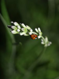 Free Ladybirds Having Sex Royalty Free Stock Photo - 5512925