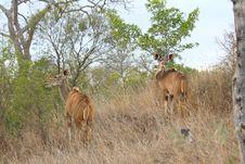 Free Male And Female Kudu Royalty Free Stock Image - 5513006