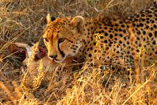 Free Cheetah On A Kill Stock Photo - 5513060