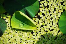 Free Water Drop On Lotus Leaf Stock Photos - 5513153