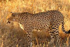 Free Cheetah Royalty Free Stock Photos - 5513238