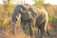 Free Elephant In The Sabi Sand Royalty Free Stock Photography - 5513757