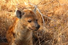 Free Hyena In Sabi Sands Stock Images - 5513894