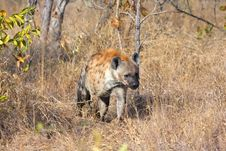 Free Hyena In Sabi Sands Royalty Free Stock Image - 5513936