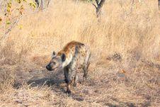 Free Hyena In Sabi Sands Royalty Free Stock Photo - 5514005