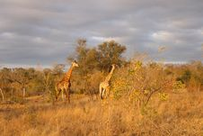 Free Giraffe In Sabi Sands Stock Photography - 5514172