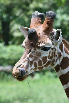 Free Giraffe Tongue Stock Images - 5514264