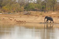 Free Elephant In Sabi Sands Royalty Free Stock Photo - 5514315