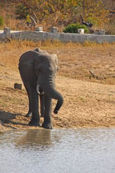 Free Elephant In Sabi Sands Royalty Free Stock Photos - 5514388