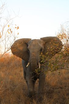 Free Elephant In Sabi Sands Royalty Free Stock Photo - 5514425