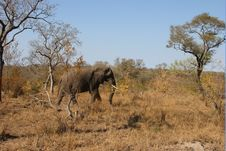 Free Elephant In Sabi Sands Royalty Free Stock Images - 5514479
