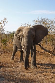 Free Elephant In Sabi Sands Royalty Free Stock Image - 5514486