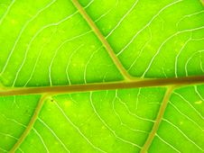 Free Green Leaf Macro Lines Stock Photography - 5514532