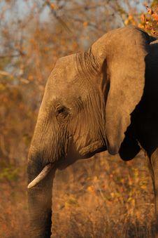 Free Elephant In Sabi Sands Stock Photos - 5514533