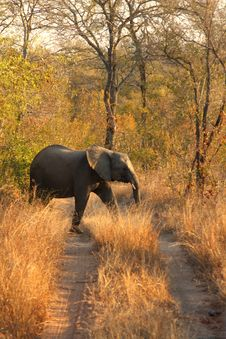 Free Elephant In Sabi Sands Royalty Free Stock Photo - 5514545