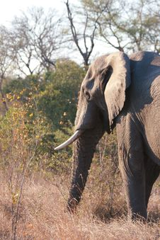 Free Elephant In Sabi Sands Royalty Free Stock Image - 5514546