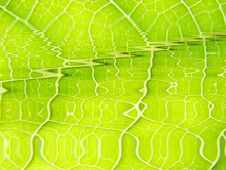 Free Green Leaf Macro Vains Bright Stock Image - 5514641