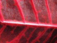Free Red Leaf Macro Stock Image - 5514731