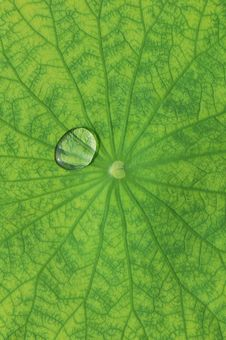 Free Lotus Leaf Stock Images - 5514734