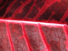 Free Red Leaf Macro Royalty Free Stock Image - 5514756