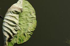 Free Lotus Leaf Stock Images - 5514784