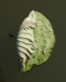 Free Lotus Leaf Royalty Free Stock Images - 5514789
