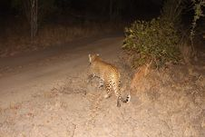 Free Leopard In The Sabi Sands Stock Photos - 5514983