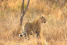 Free Leopard In The Sabi Sands Stock Image - 5515011